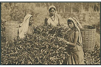 Raphael Tuck: Ceylon British Empire Exhibition. Tea Plucking. U/no.