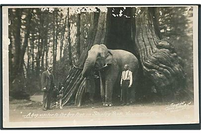 Elefant. A big visitor to the big tree in Stanley Park, Vancover B. C. Published by the Gowen, Sutton Co no. 173.